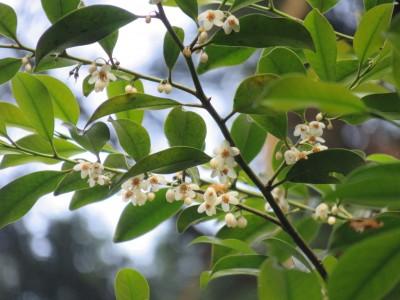 本榊の白い花